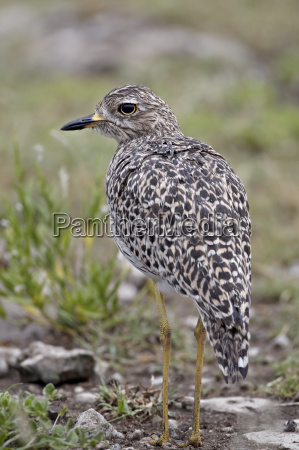 spotted thick knee spotted dikkop burhinus