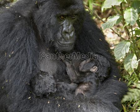 mountain gorilla gorilla gorilla beringei mother