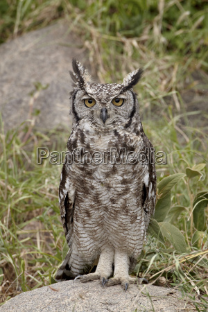 spotted eagle owl bubo africanus with