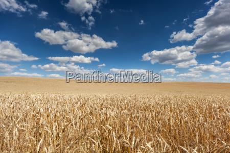 ripe barley on the field