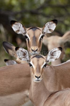 impala aepyceros melampus adult and juvenile