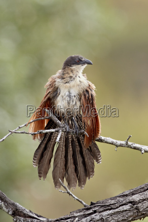 burchells coucal centropus burchellii warming itself