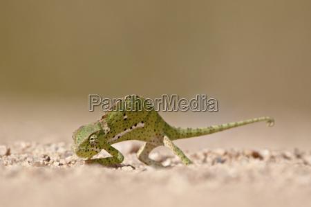 flap necked chameleon chamaeleo dilepis kruger