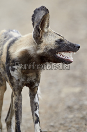 african wild dog african hunting dog