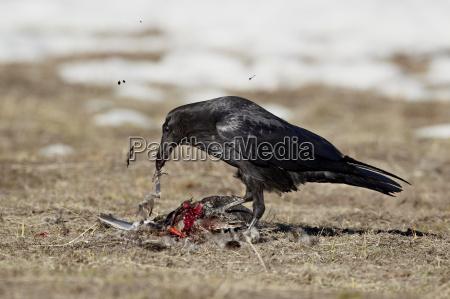 common raven corvus corax feeding on