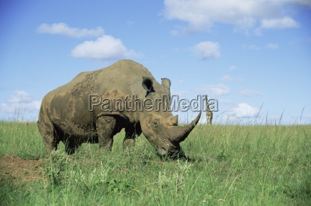 white rhinoceros rhino ceratotherium simum with