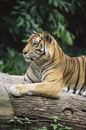 sumatran tiger panthera tigris sumatrae grows