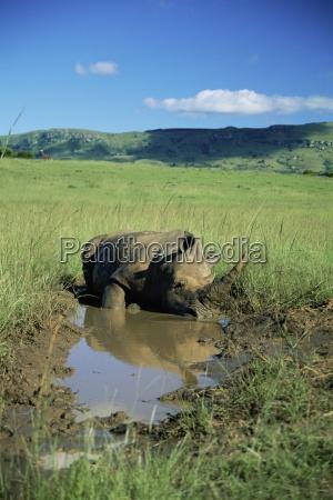 white rhinoceros rhino ceratotherium simum cooling