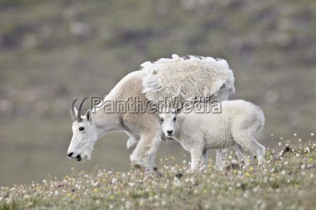 mountain goat oreamnos americanus nanny and