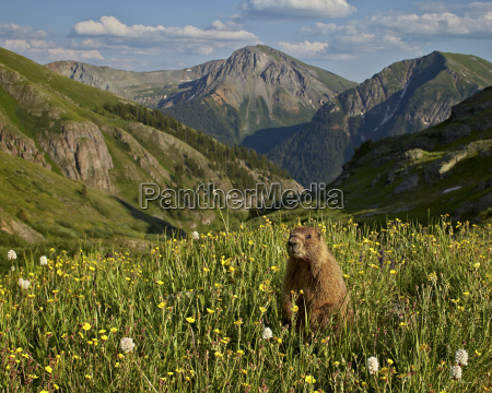 yellow bellied marmot yellowbelly marmot marmota
