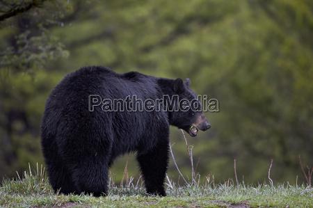 black bear ursus americanus in the