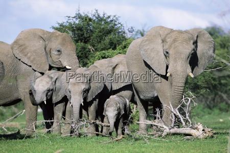 african elephants loxodonta africana maternal group