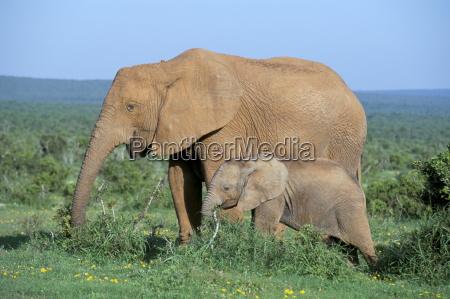 african elephant loxodonta africana with calf
