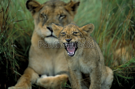two to three month old lion
