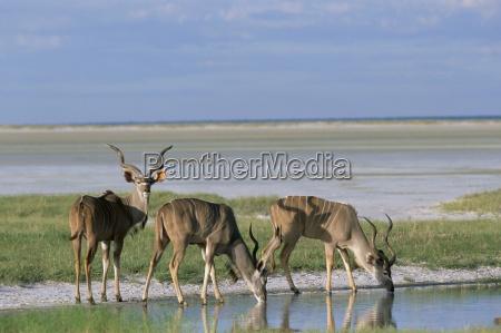 viaggio viaggiare bere animale mammifero africa