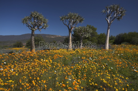 wildflowers and quiver trees ramskop wildflower
