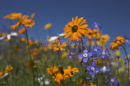 namaqualand daisies and spring wildflowers ramskop