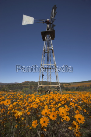 namaqualand daisies and windmill in namaqua