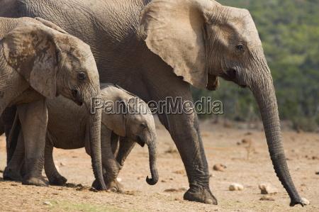 maternal group of elephants loxodonta africana