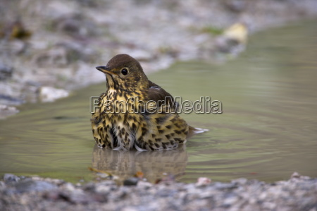 song thrush turdus philomelos bathing in