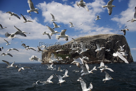 herring gulls larus argentatus following fishing