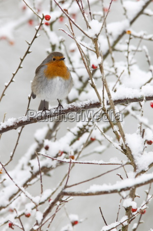 robin erithacus rubecula with berries in