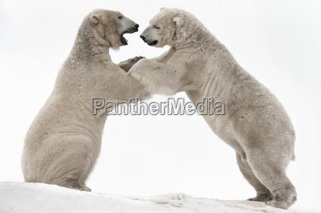 polar bear ursus maritimus males playfighting