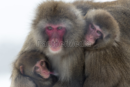 snow monkey macaca fuscata group with