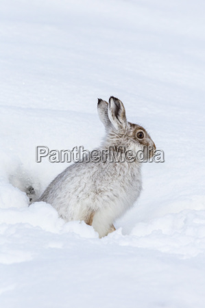 mountain hare lepus timidus in winter