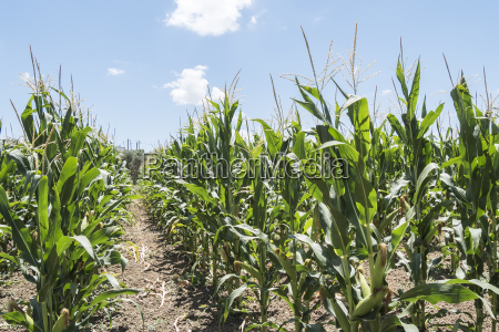 corn field with unripe cobs in