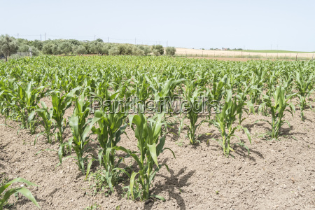 corn crop growing