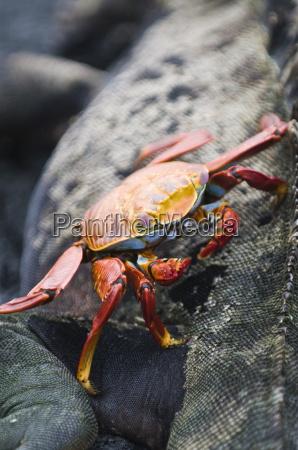 sally lightfoot crab grapsus grapsus and