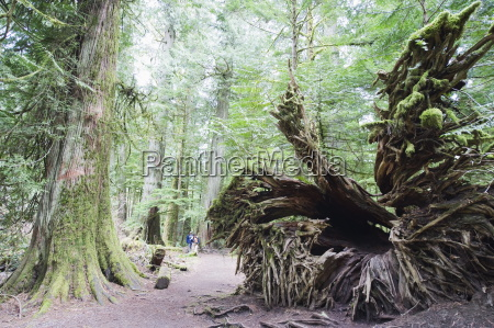 old growth forest in cathedral grove
