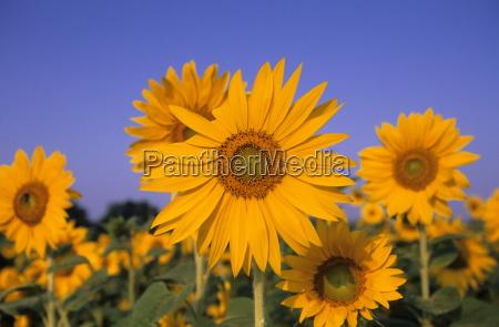 sunflower helianthus spec bielefeld w germany