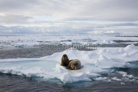 walrus odobenus rosmarus on pack ice