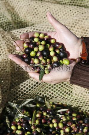 olive picking italy europe