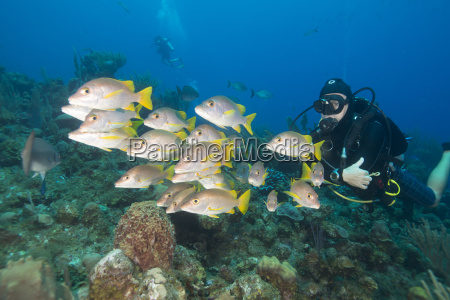 diver watching schooling snapper fish in