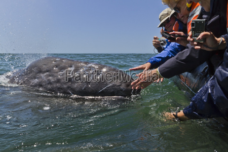 baleia cinzenta de california robustus de