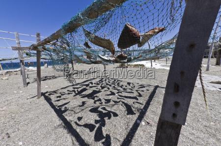 shark fins drying in the sun
