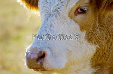 cow in a meadow in
