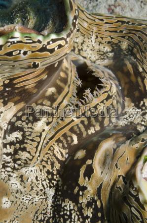 common giant clam tridacna maxima macro