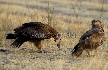tawny eagles grumeti tanzania east africa