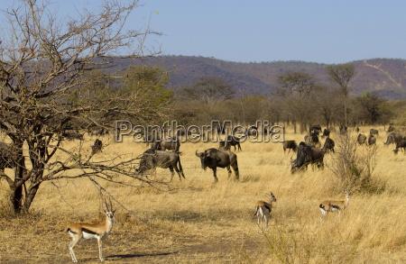 blue wildebeest and thomsons gazelles grumeti