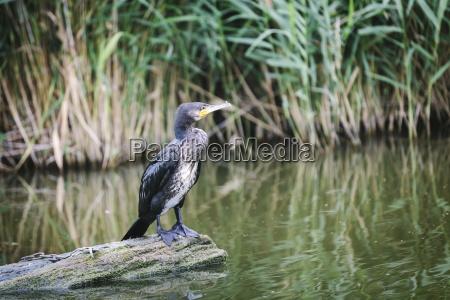 great cormorant phalacrocorax carbo juvenile standing