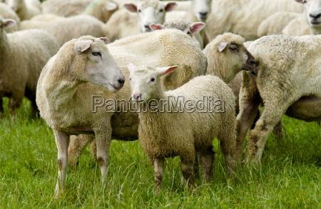 flock of sheep on a farm