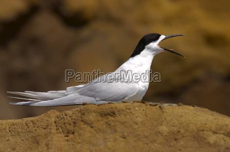 white fronted tern sterna striata calling