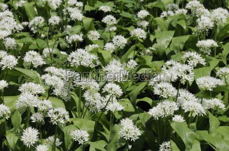 wild garlic ramsons allium ursinum carpeting