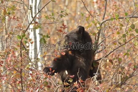 cinnamon black bear ursus americanus climbs