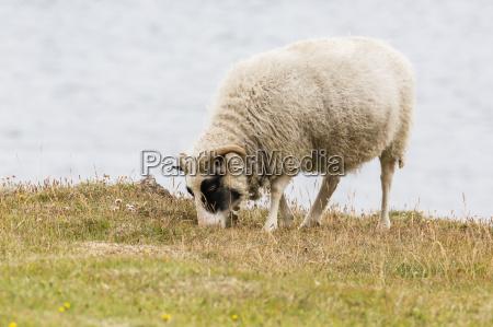 domesticated sheep ovis aries flatey island
