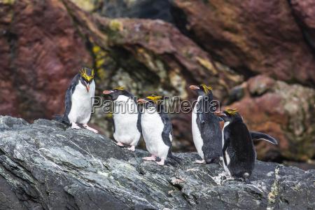 adult macaroni penguins eudyptes chrysolophus cooper
